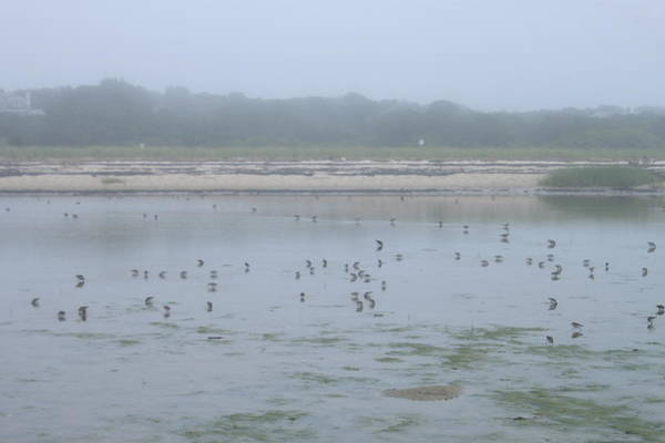 Wall Art - Photograph - Monomoy National Wildlife Refuge Shorebirds In Fog by John Burk
