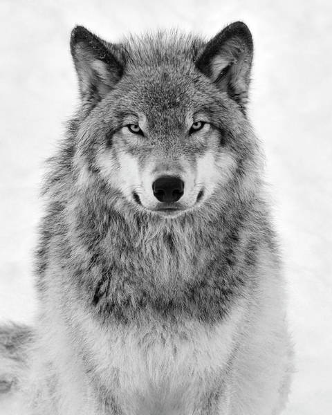 White Wolf Photograph - Monotone Timber Wolf  by Tony Beck