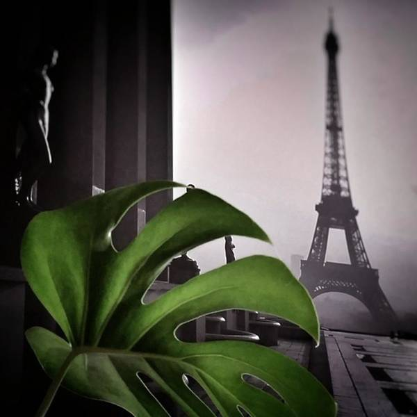 Green Photograph - Monstera Délicieuse #paris #plant by Rafa Rivas