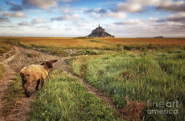 Photograph - Mont Saint Michel's Sheep by Dominique Guillaume