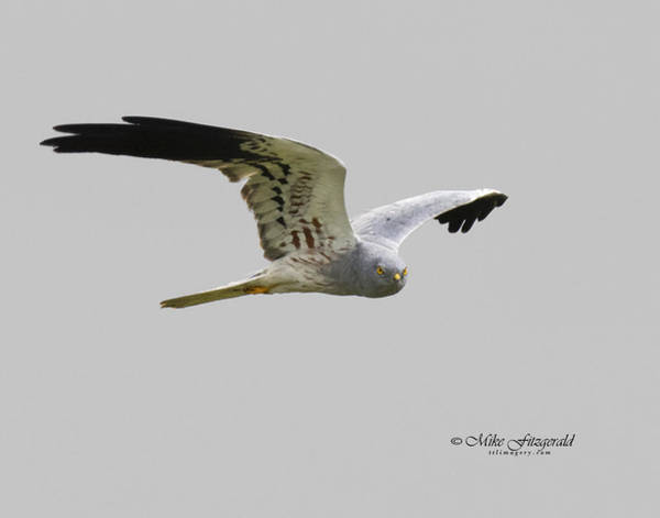 Photograph - Montagues Harrier by Mike Fitzgerald