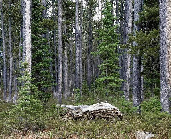 Digital Art - Montana Forest by Susan Kinney