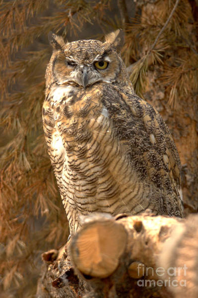 Photograph - Montana Great Horned Owl by Adam Jewell