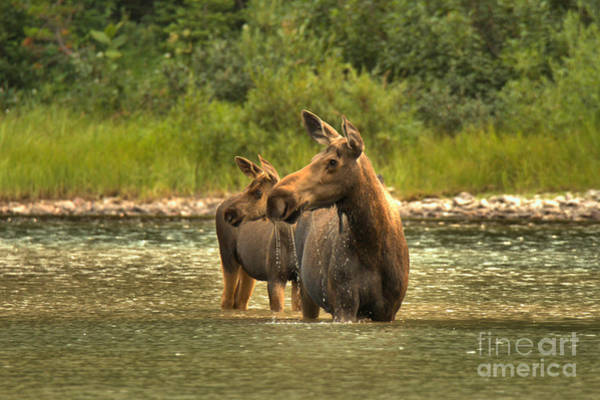 Photograph - Montana Moose On The Lookout by Adam Jewell