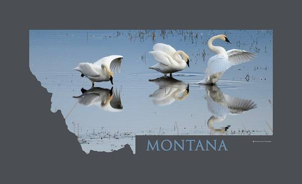 Wall Art - Photograph - Montana- Swan Ballet by Whispering Peaks Photography