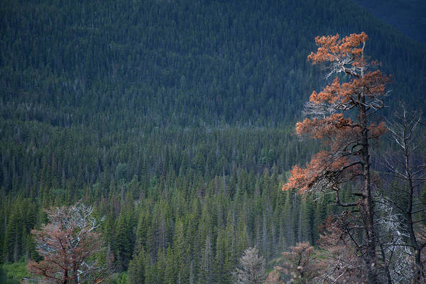Photograph - Montana Tree Line by David Chasey