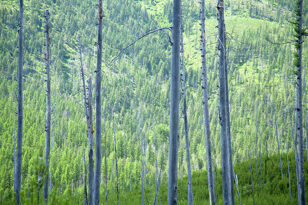 Photograph - Montana Trees by David Chasey