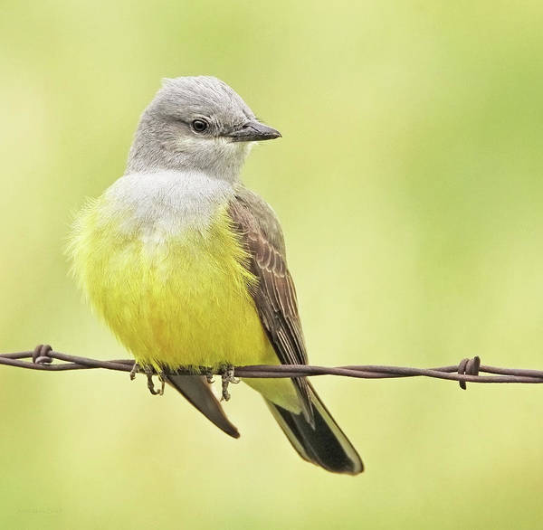Wall Art - Photograph - Montana Western Kingbird by Jennie Marie Schell