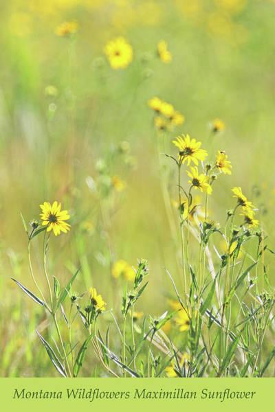 Wall Art - Photograph - Montana Wild Sunflowers Maximillan by Jennie Marie Schell