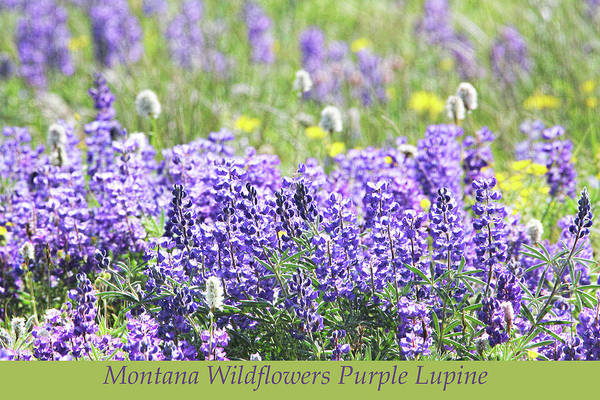 Wall Art - Photograph - Montana Wildflowers Purple Lupine by Jennie Marie Schell