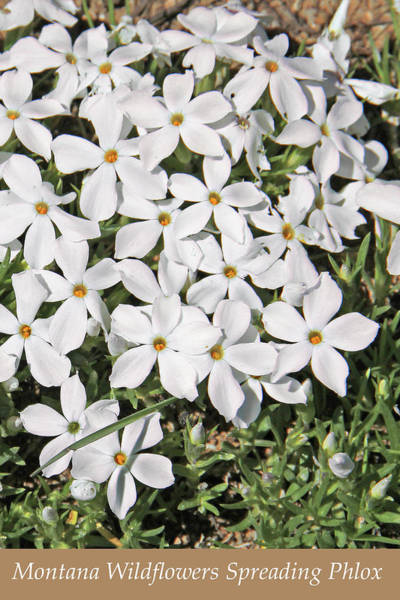 Wall Art - Photograph - Montana Wildflowers White Phlox by Jennie Marie Schell