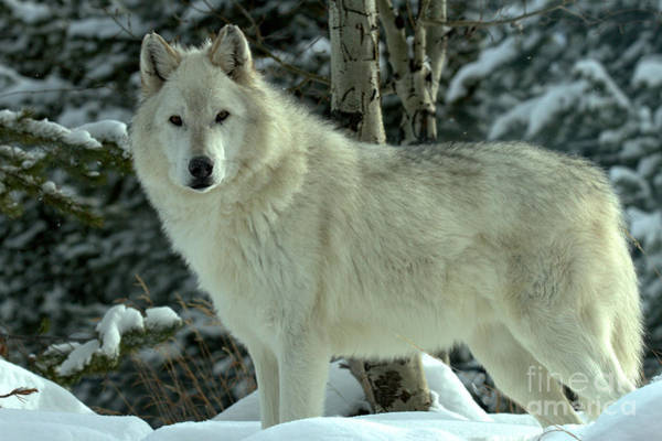 Photograph - Montana Winter Wolf by Adam Jewell