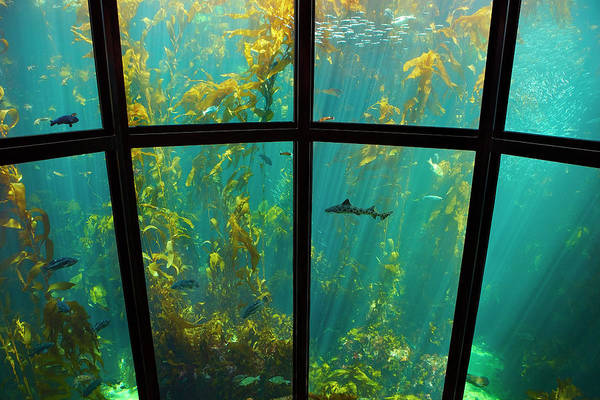 Monterey Bay Aquarium Photograph - Monterey Kelp Forest by Brian Knott Photography