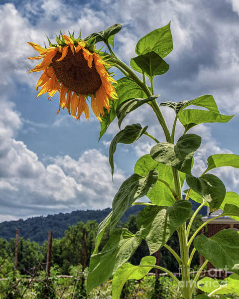 Photograph - Monticello Sunflower by Rod Best