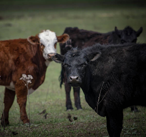 Photograph - Moo by Brian Duram