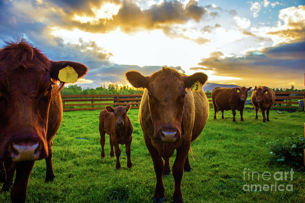 Photograph - Moo by Michael Cross