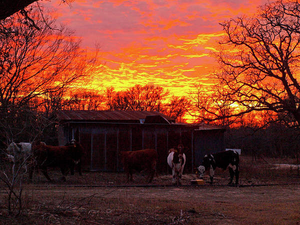 Photograph - Moo Under A Blazing Sky by James Granberry