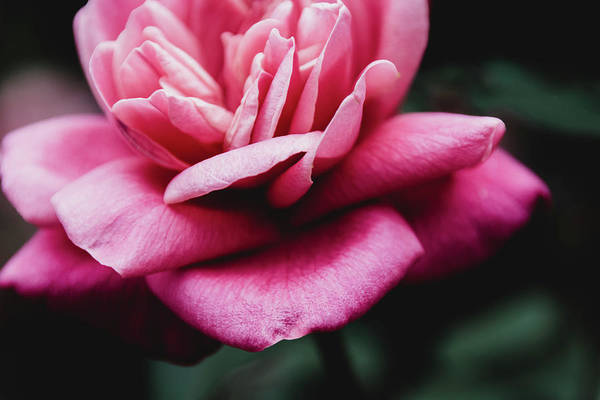 Photograph - Moody Pink Rose by Andrea Anderegg