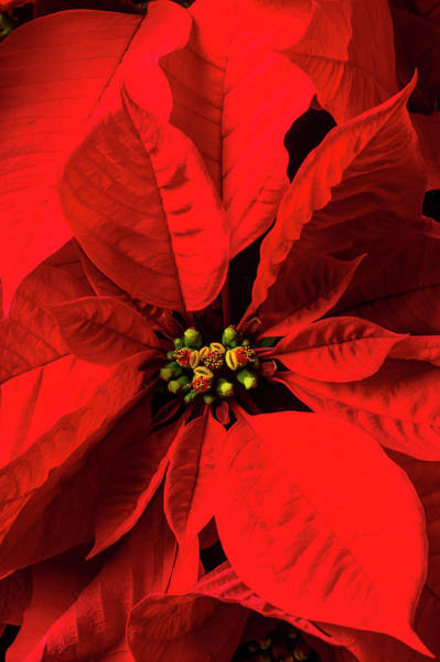 Foilage Photograph - Moody Poinsettia by Garry Gay