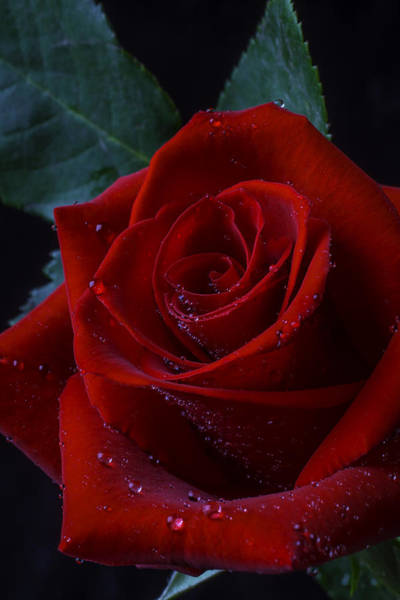 Wet Rose Wall Art - Photograph - Moody Red Rose by Garry Gay
