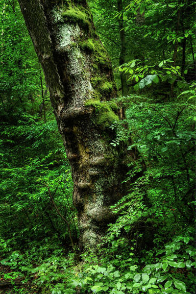 Photograph - Moody Tree In Forest by Dennis Dame
