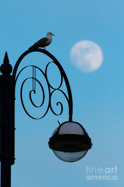 Photograph - Moon And Seagull by Keith Morris