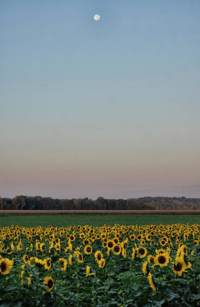 Photograph - Moon Over Sunflowers by Cricket Hackmann