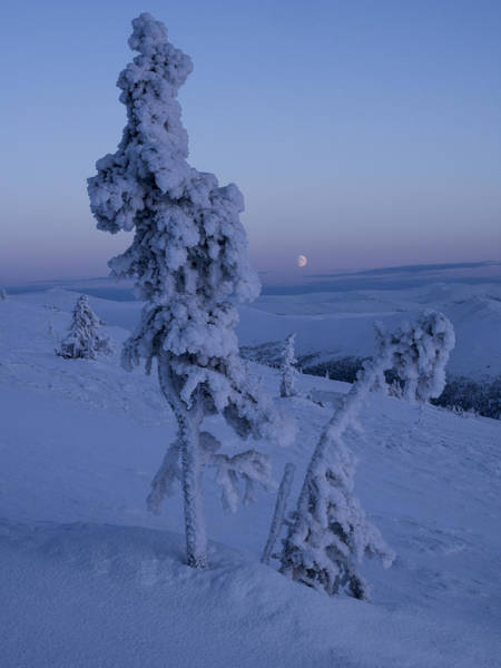 Photograph - Moon Rise Between The Spruces by Ian Johnson