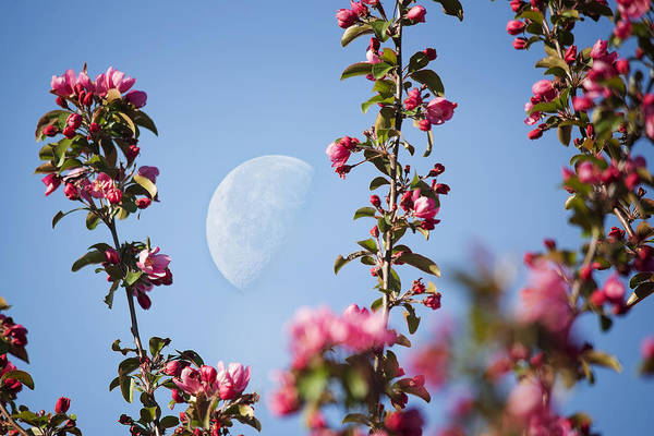 Photograph - Moon Through The Crabapple Blossoms by Jemmy Archer