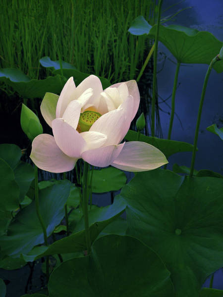 Pink Lotus Flower Photograph - Moonglow   by Jessica Jenney