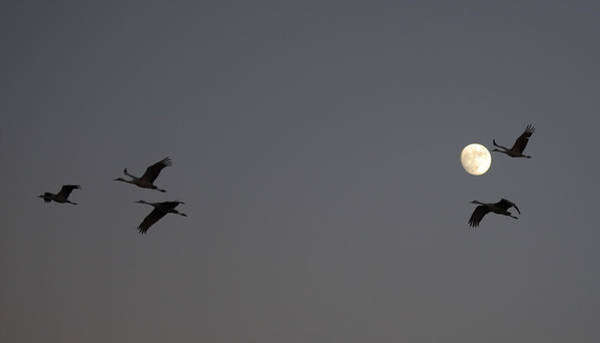 Photograph - Moonlight Flight by Jean Clark