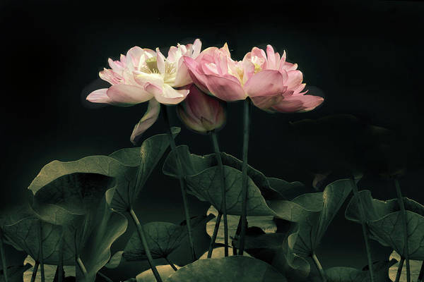 Pink Lotus Flower Photograph - Moonlight Lotus by Jessica Jenney
