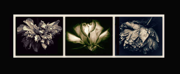Photograph - Moonlight Petals Triptych by Jessica Jenney