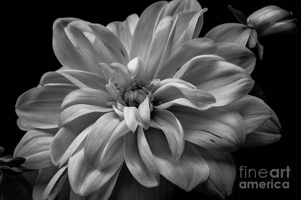 Photograph - Moonlit Dahlia by Chris Scroggins