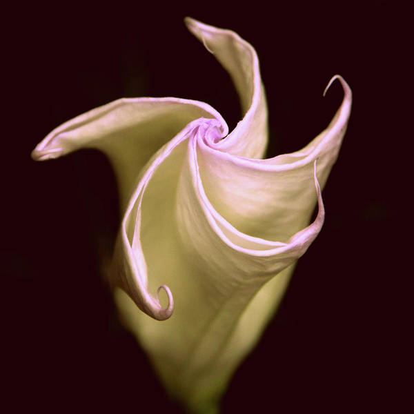 Moon Flower Photograph - Moonlit Moon Flower by Jessica Jenney