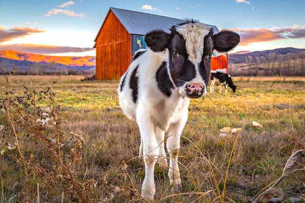 Photograph - Mooove It by Ryan Smith