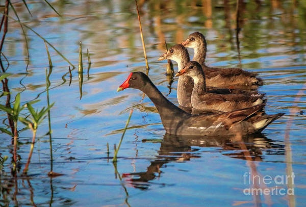 Photograph - Moorhen And Young by Tom Claud