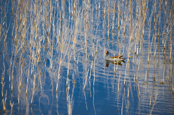 Photograph - Moorhen In The Reeds by Carolyn Marshall
