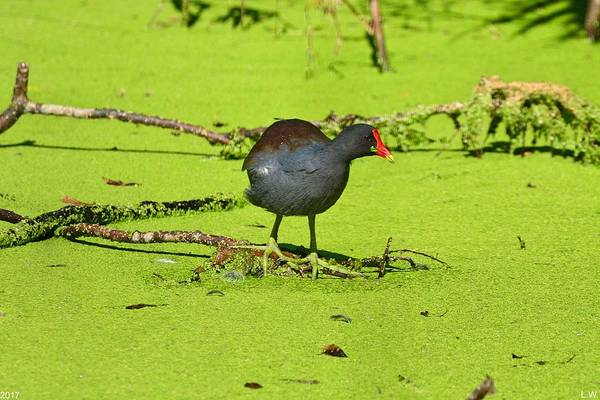 Photograph - Moorhen by Lisa Wooten