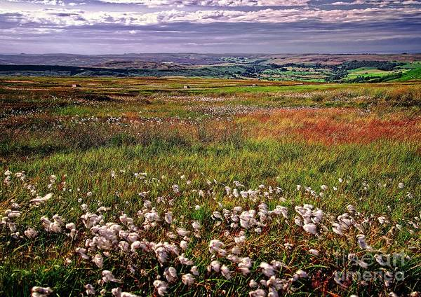 Photograph - Moorland Cottongrass by Martyn Arnold