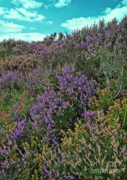 Photograph - Moorland Heather by Martyn Arnold