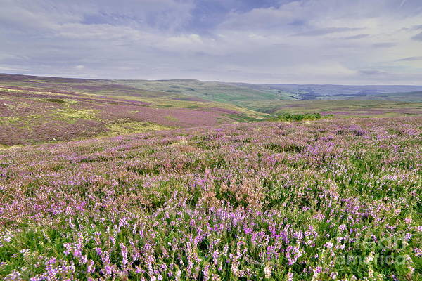 Photograph - Moorland Heather - The Dales by Martyn Arnold