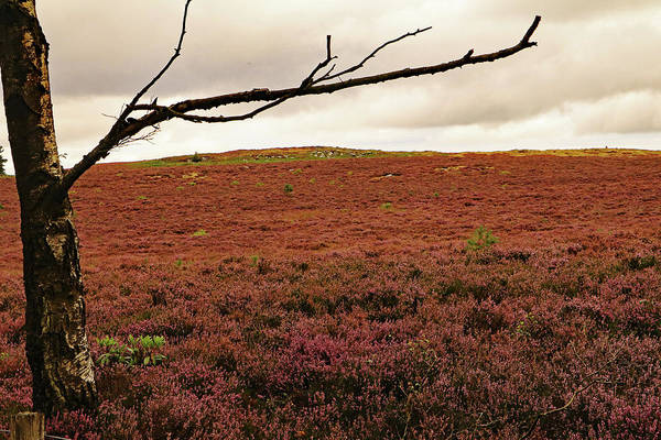 Photograph - Moorland Heather by Tony Murtagh