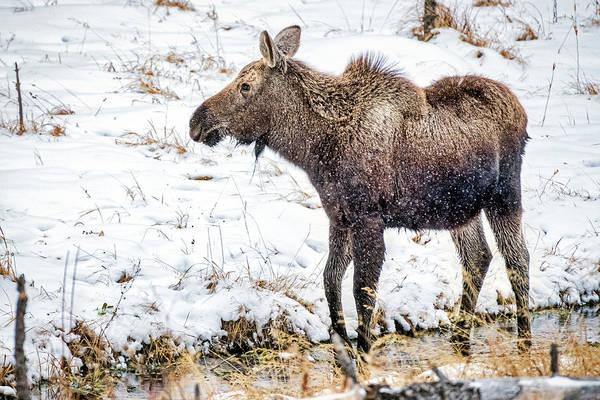 Photograph - Moose #2 by Stuart Litoff