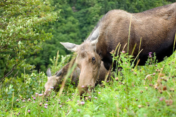 Photograph - moose and Calf-1 by Steve Somerville