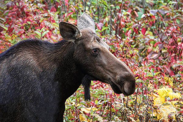 Photograph - Moose And Fall Leaves by Peggy Collins