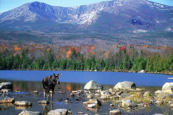 Baxter State Park Photograph - Moose And Mount Katahdin by John Burk