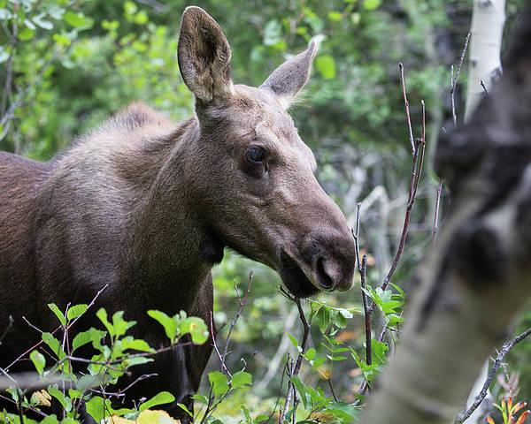 Photograph - Moose Calf Profile by Jemmy Archer
