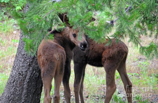 Photograph - Moose Calves by Cindy Murphy