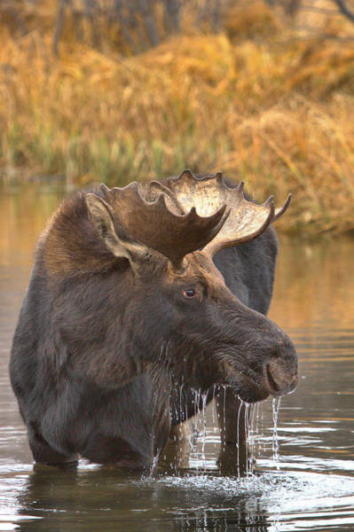 Drool Photograph - Moose Drool In The Wetlands by Adam Jewell